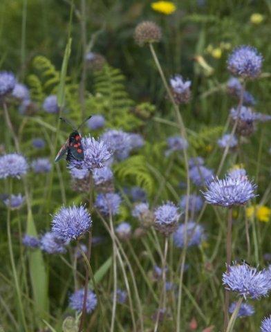 Borla azul. Jasione montana L.